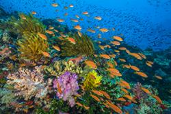 A bustling coral reef in Fiji.  : (C) Alex Mustard -© BBC