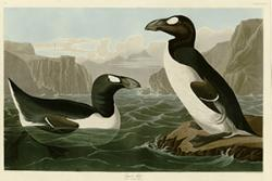 The great auk by John James Audubon. : University of Pittsburgh/Wikimedia