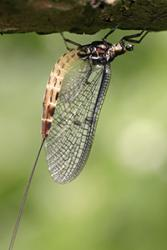 A Mayfly nymph - one of the species looked for in the research