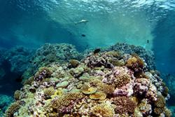 A coral-dominated reef, with algae held in check. : Image courtesy Brian J. Zgliczynski (Scripps Institution of Oceanography) via The Conversation