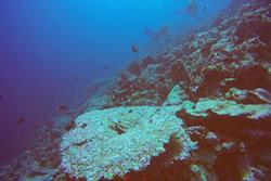 A dead table coral upon which new corals settling upon it