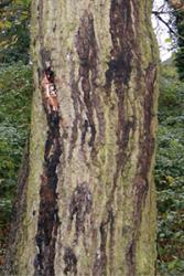 External symptoms of AOD showing position of weeping patches on tree trunks.