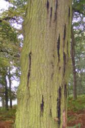 The trunk of an oak tree showing the 'bleeding' signs of Acute Oak Decline