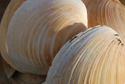 Ocean Quahog clam shells, showing the growth rings on each shell.