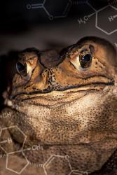 The Asian toad's native predators can withstand the toxins in its skin.:  Image Credit: Ben Marshall