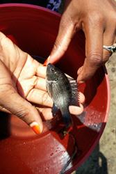 Oreochromis species of tilapia.: Credit:  Tarang  Mehta,  Earlham  Institute