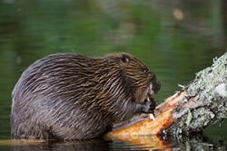 Beaver on a log.: Image by Allard Martinius via Wildlife Trusts Wales