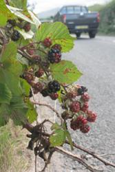 Blackberries growing on the roadside.