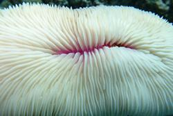 A bleached mushroom coral. The white appearance is caused by the loss of the coral's symbiotic zooxanthellae in response to thermal stress. Without the zooxanthellae, the coral will eventually suffer mortality.
