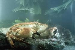 Cancer pagurus or edible crab.: Image David Roberts