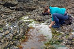 A CoCoast volunteer looking for wireweed
