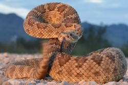 The Mohave rattlesnake — poster child for venom variation among rattlesnakes.: image credit & copyright: Wolfgang Wüster