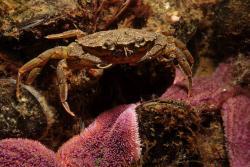 Carcinus maenas  or shore crab.: Lars Behnke