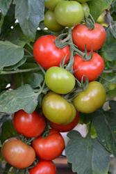 The Crimson Crush tomatoes soon to go on sale in the UK.