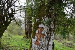 The carved cross in the trunk of this oak tree is a recent offering from a young shepherd to Saint Nikolas, patron of the church in Vitsa's sacred forest. :: Photo© K. Stara