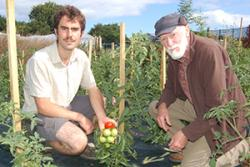 James Stroud and David Shaw surveying outdoor-grown tomatoes which are about to be infected with blight, to see how they fare.