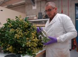 Dr Dave Preskett prepares some ivy for extraction.