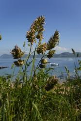 Dactylis glomerata ym Morfa Nefyn, Gwynedd