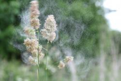 Pollen being released from a common grass species, Dactylis glomerata, also known as cock's-foot, orchard grass, or cat grass