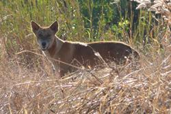 Dingo in Kakadu National Park, in Australia's Northern Territory: image credit & copyright:Peter Fleming