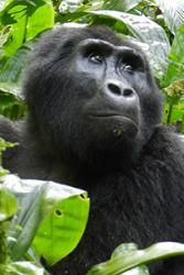 The threatened Eastern gorilla, Gorilla gorilla. : Photo by Peter Stoel via Oregon State University.