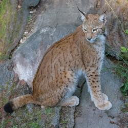 The Eurasian Lynx.: Magnus Johansson [CC BY-SA 2.0 (https://creativecommons.org/licenses/by-sa/2.0)]