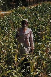 A farmer assesses his GM-6 maize crop.