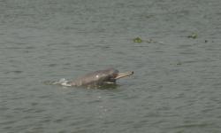 Dolffin afon Ganges.: Credyd llun:Mansur/WCS Bangladesh