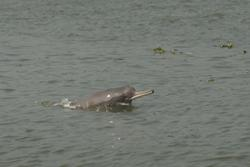 A Ganges River Dolphin: image credit: Mansur/WCS Bangladesh