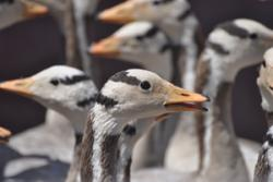 Bar-headed geese.