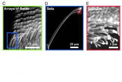 Micro and nanostructure of Gecko feet.: © 2005, The National Academy of Sciences