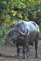 Bull buffalo after a mud wallow.: image credit Gina Hayward