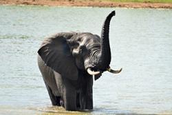 Elephant: Image credit: Gina Hayward