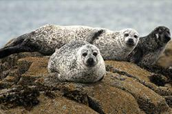 Harbour seals have been declining in several areas of Britain. : Photo: Peter Evans