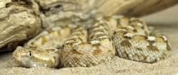 Painted saw-scaled viper (Echis coloratus) : Photo: Adam Hargreaves