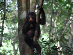 Bonobos, an endangered species of great ape.