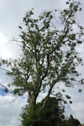 Mature ash tree suffering dieback disease.: Photo by John Healey  taken in Dorset in 2019