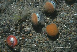 Scallops photographed on the sea bed (here off the Isle of Man).