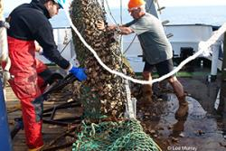 Emptying a scallop dredge on the RV Prince Madog (illustrative- as part of another research project).