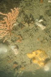 Sponge and pink sea fan on the sea bed