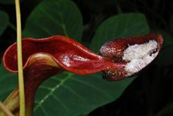 A particular shrew is attracted to the sugary coating on this pitcher plant species- with beneficial results for the plant!