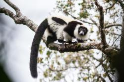 Many of Madagascar's iconic lemur species such as this black and white ruffed lemur are critically endangered. : Copyright Daniel Burgas.