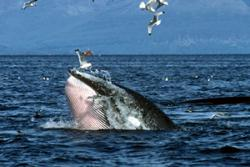 Minke whale lunging through a large shoal of sprat in the Inner Hebrides.: Photo: Peter Evans