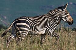 The Mountain zebra (Equus zebra).: Photo by Halska Hrabar via Oregon State University.