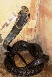 Cobra Ddu'r Fforest yw'r enw cyffredin a argymhellir ar gyfer un o'r  rhywogaethau newydd.: Naja guineensis llun gan  L Chirio