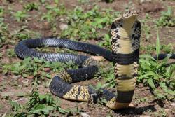 Cobra Rhesog Gorllewin Affrica yw'r ail rhywogaeth i'w henwi am y tro cyntaf yn y papur hwn.: Naja savannula llun gan J-F Trape