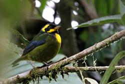The Gold-ringed tanager lives in a very small area in the western Colombian Andes and is listed as Endangered on the IUCN Red List.: image: Gilroy
