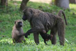 A mother olive baboon, her infant and a juvenile on the grass outside camp in Kibale National Park, Uganda : image by Izzie Winder