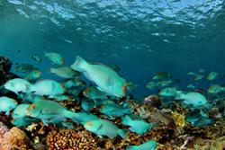 Chlorurus frontalis, a parrotfish that bites into the reef when it feeds, may be particularly important in controlling large algae and opening up new sites for corals to grow: Image courtesy Brian J. Zgliczynski (Scripps Institution of Oceanography) via The Conversation