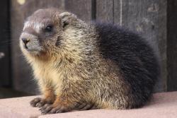 A marmot pup: © Graeme Shannon